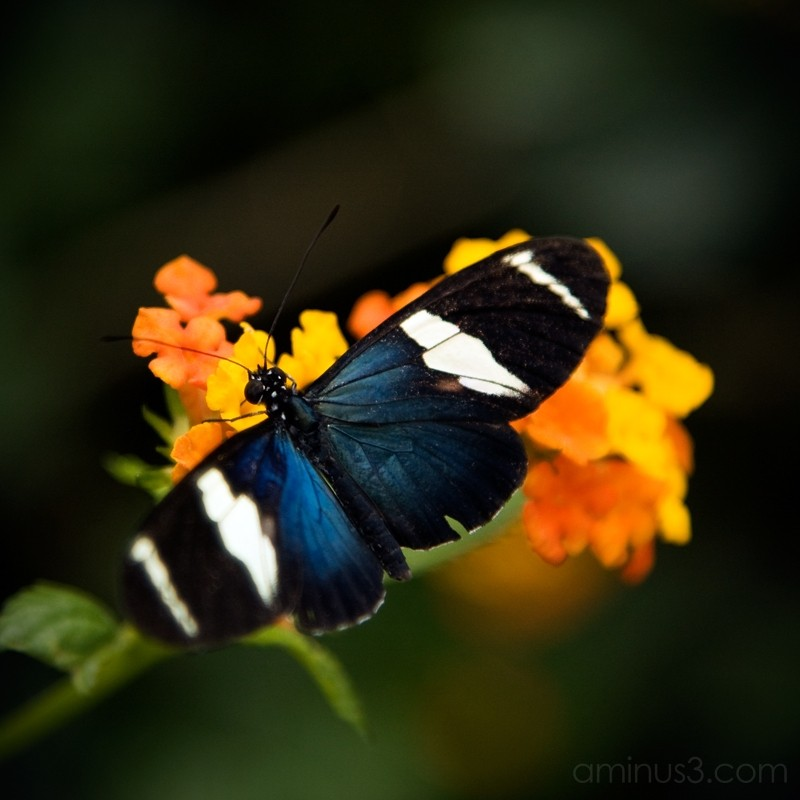 Butterfly No. 1