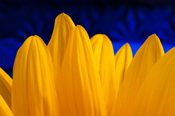 Sunflower, with blue