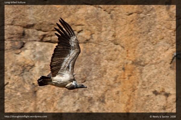 Long-billed Vultures