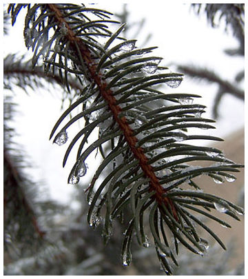 Cold rainy evergreen