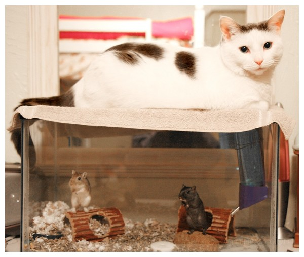 gerbils looking at cat