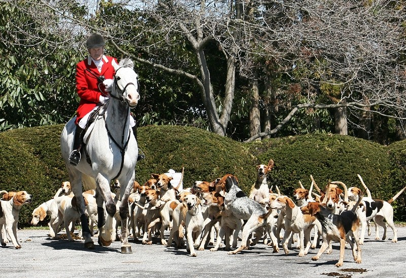 A mounted fox hunter and his hounds
