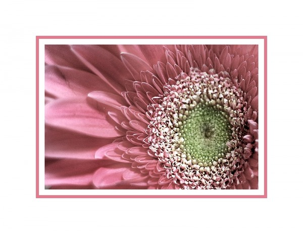 photo of a pink daisy