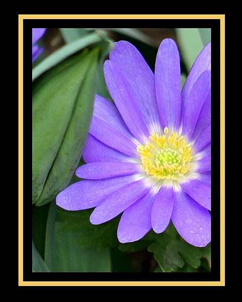 color photo of a purple spring flower