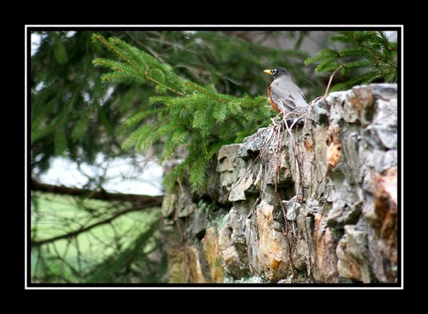 photo of a robin sitting on a rock wall