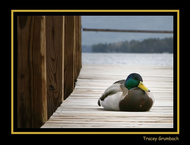 duck resting on a pier