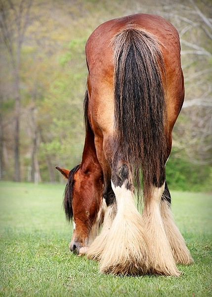 clydesdale horse eating grass in a field
