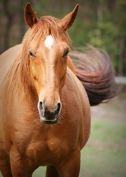 Tennessee Walking horse with swishing tail