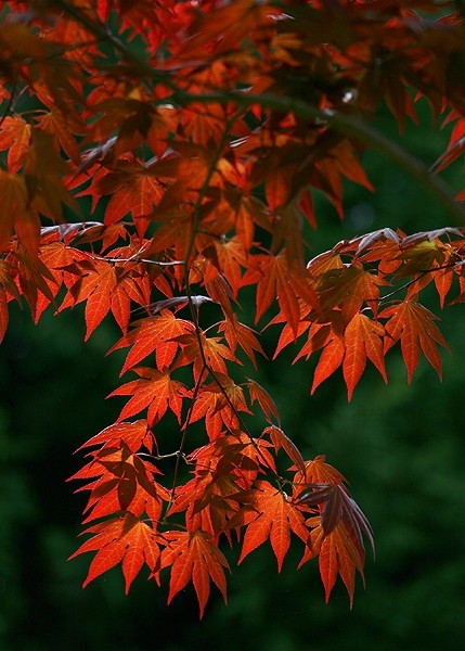 close up of Japanese Maple Tree
