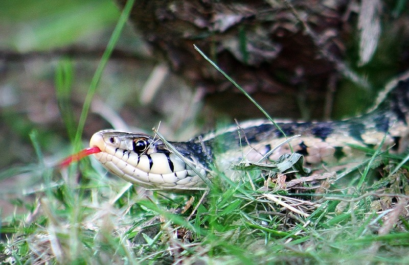 snake in the grass with tongue out