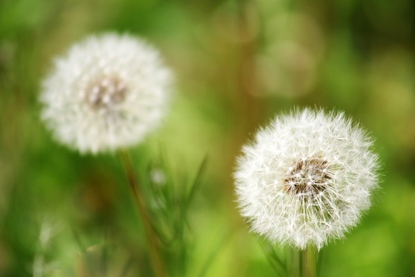 two dandelions in the seeing stage