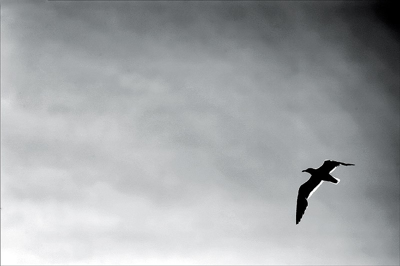 black and white photo of seagull flying