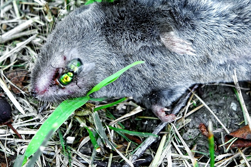 dead mole with fly on mouth
