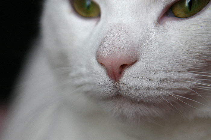 a cat's nose