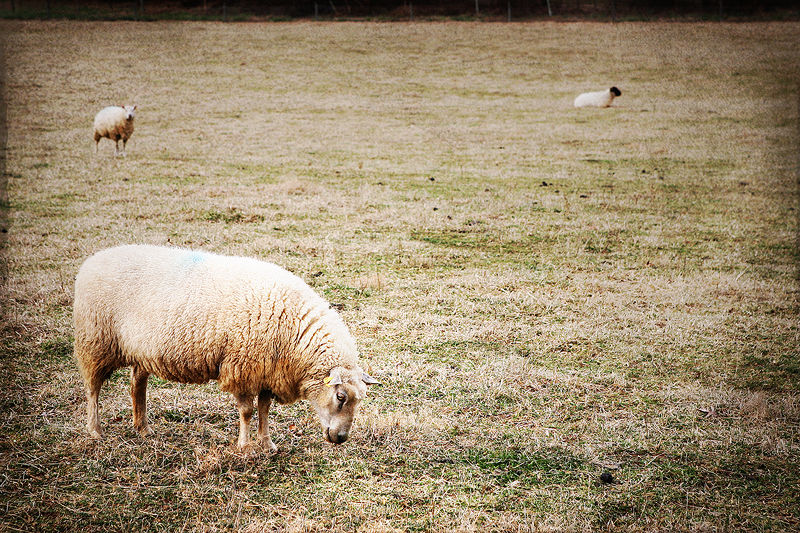 three sheep in a field