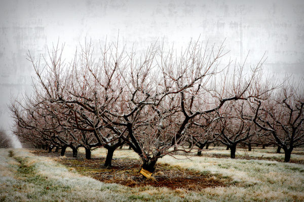 apple tree in winter with ice