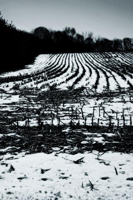 snowy cornfield