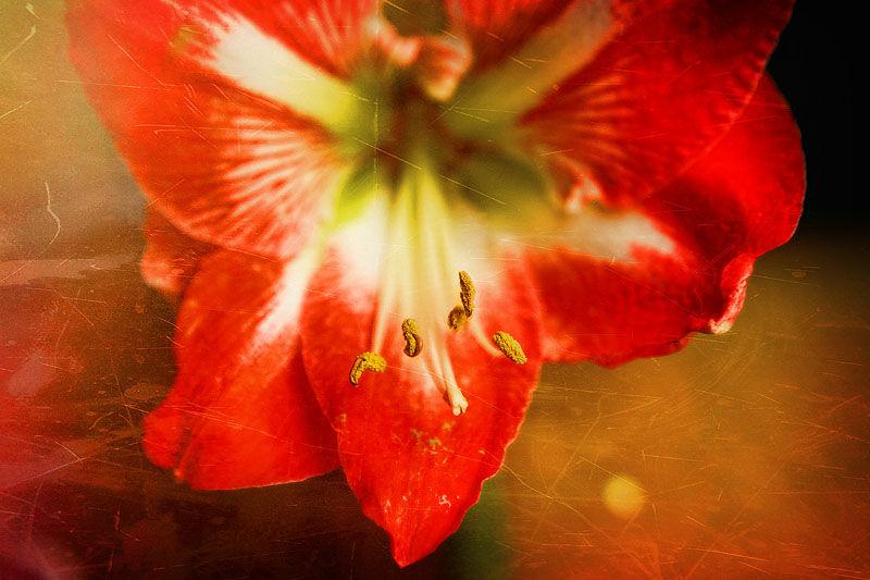 macro of an amaryllis flower