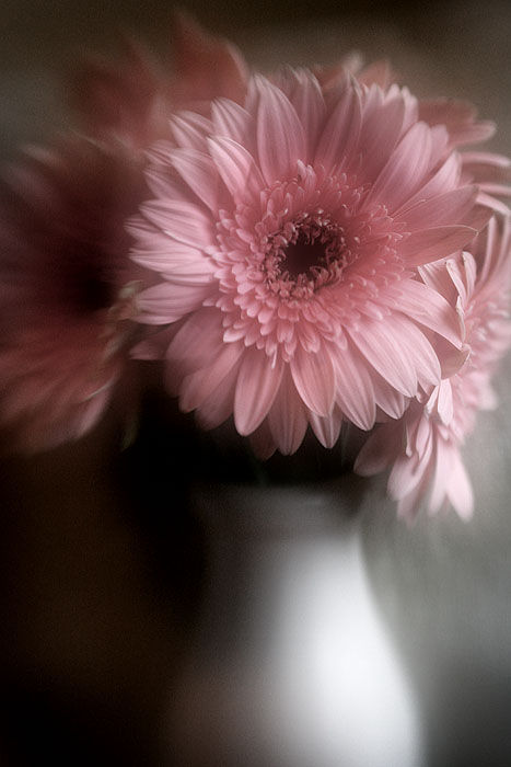 pink daisies in a vase