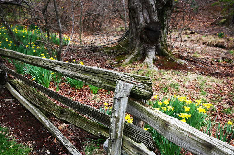 spring daffodils and a split rail fence
