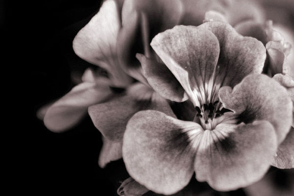 black and white image of a flower