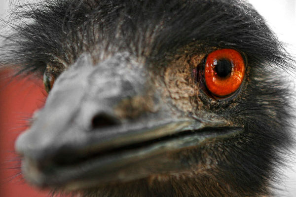 eye and beak of an emu