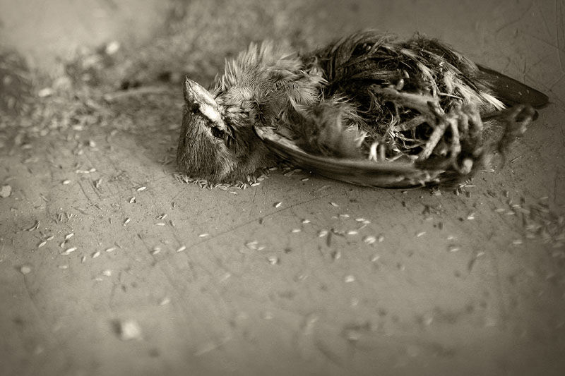 dead bird laying in grass seed