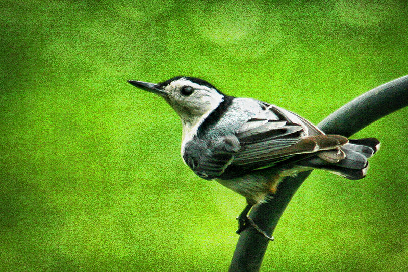 perched nuthatch