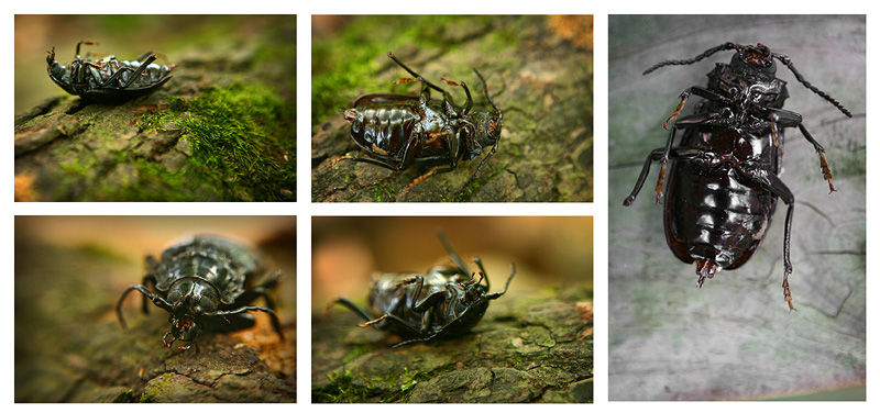 collage of a beetle