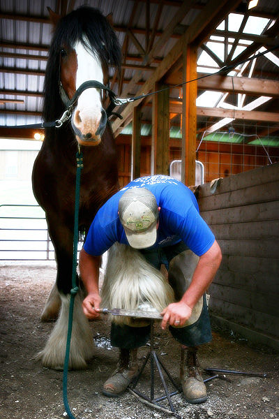 Clydesdale horse and a farrier