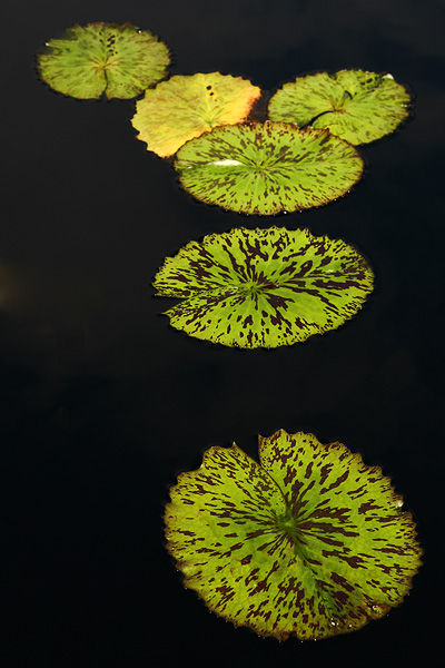 green lily pads in black water