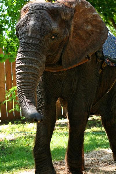 elephant used as a ride