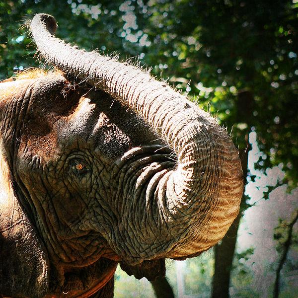 elephant with trunk raised