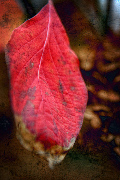 autumn red leaf with texture