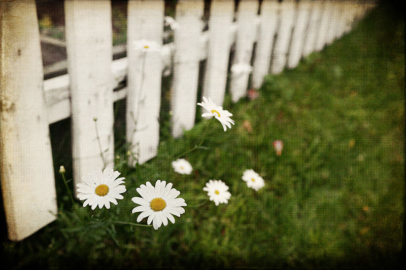 daisy plant along a white picket fence