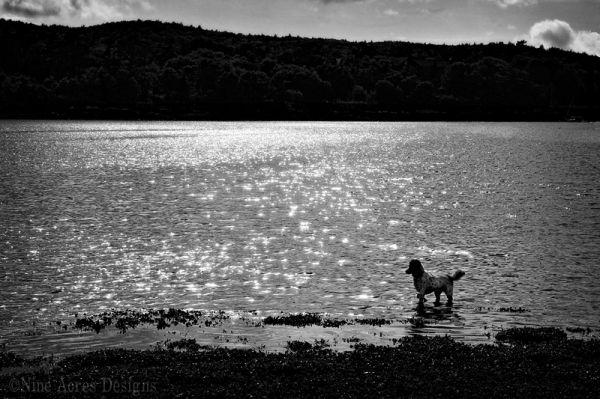 Maine sunset dog water