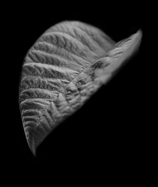 white poinsettia macro