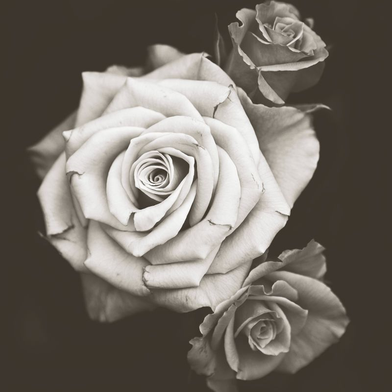romantic images of roses