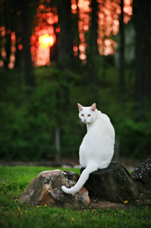 cat at sunset