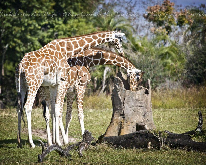 two giraffes looking in a tree trunk