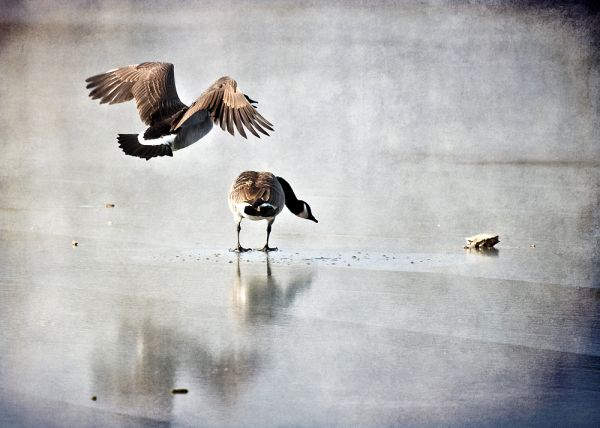 two canadian geese on an ice covered lake