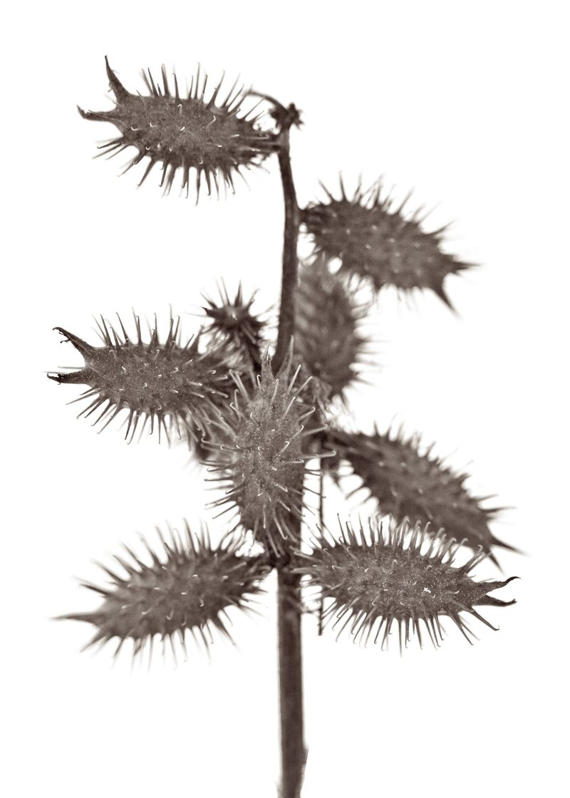 burrs on a winter plant