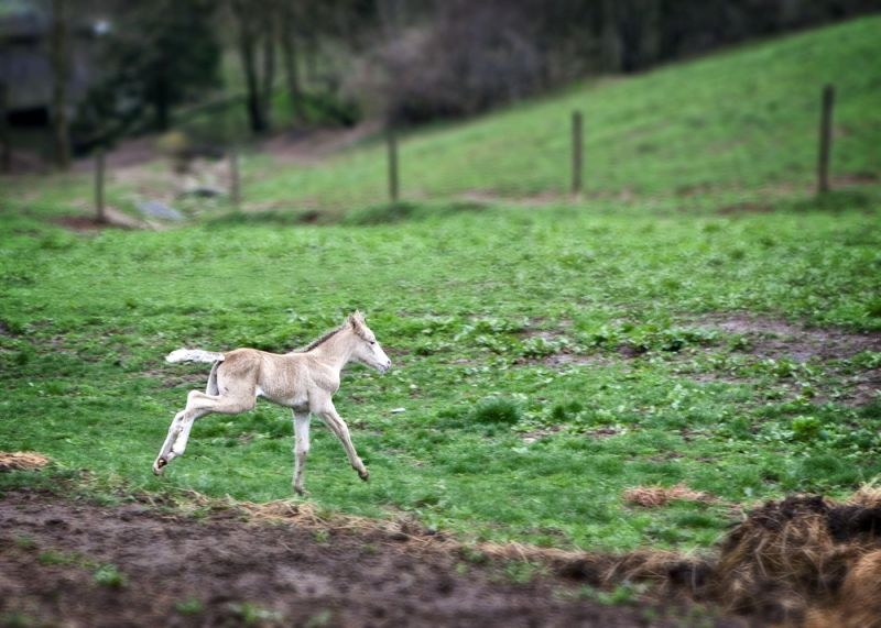 foal frolicking in the field