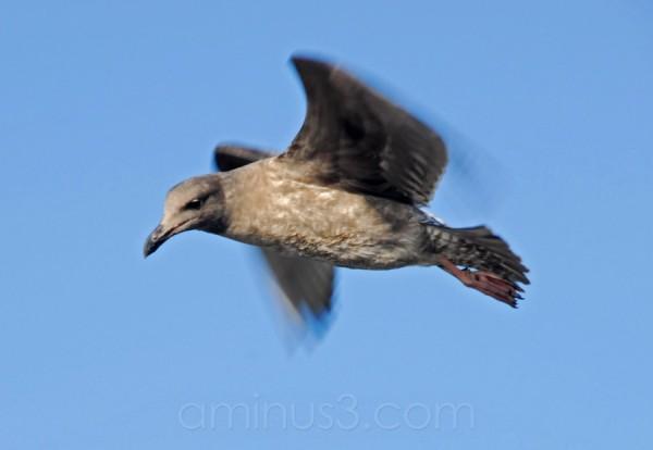 Seagull in flight.