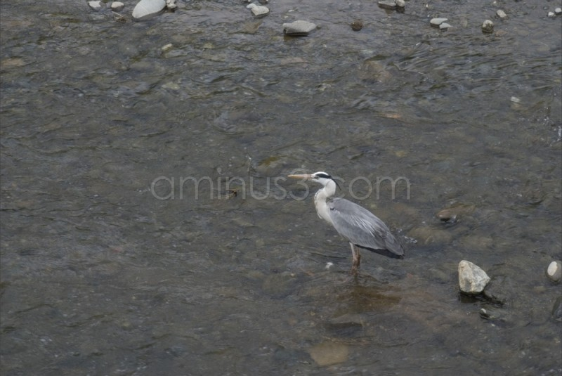 Gray Heron or Shirasagi (Japanese Bird)