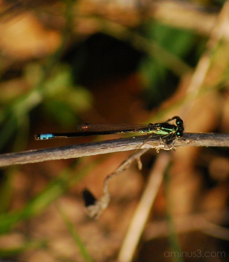 My First Dragonfly of 2008