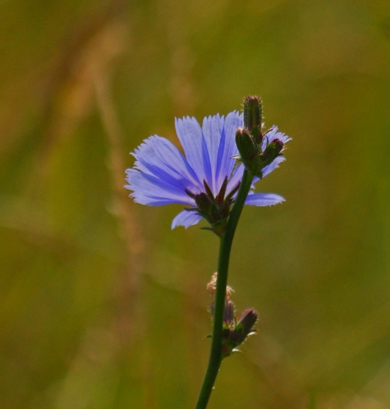 Wildflower - Blue Chicory