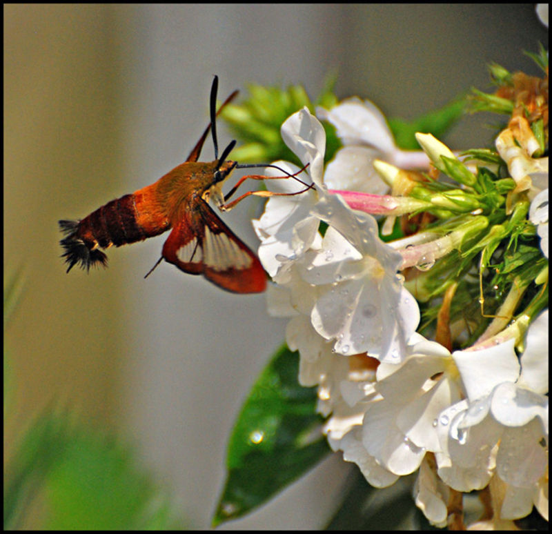 Hummingbird Moth, nature