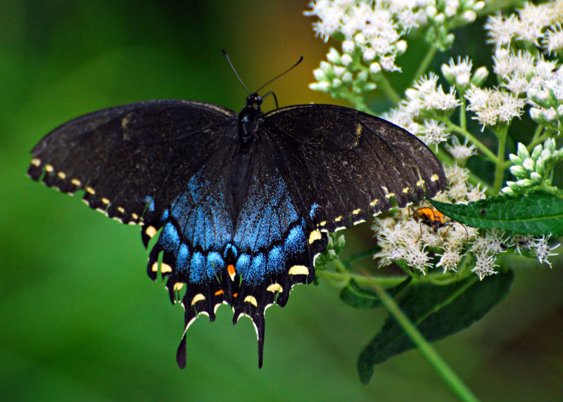 Black Swallowtail Butterfly, nature