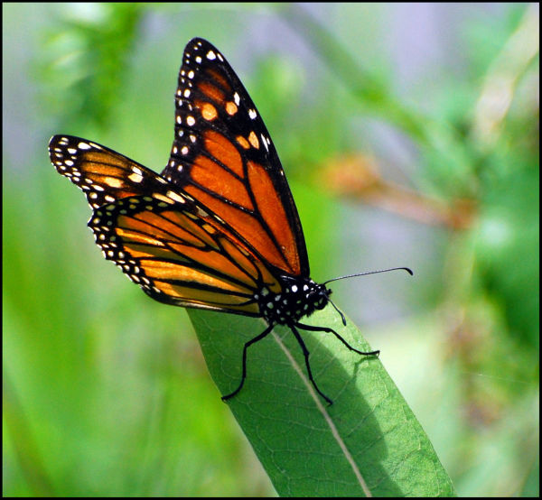 Monarch, butterfly, nature